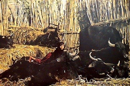 صور من التراث العراقي PEACEFUL_BUFFALOS